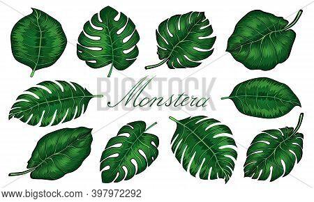 Set Of Tropical Monstera Leaves. Vector Illustration. Monstera Plant Leaves, The Tropical Evergreen