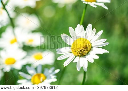 Beautiful Chamomile Flowers In Meadow. Flower Background. Chamomile In The Nature. Copy Space. Soft