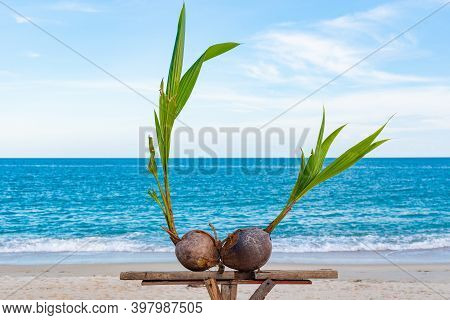 Sprouted Coconuts On The Seashore On Koh Samui In Thailand, Gulf Of Thailand, Coconut Farm, Exotic F