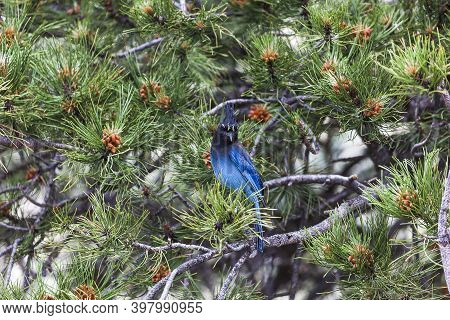 Stellers Jay On A Pine Tree In Colorado