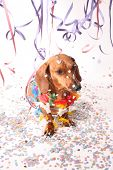 An dachshund enjoying the Carnival party. poster