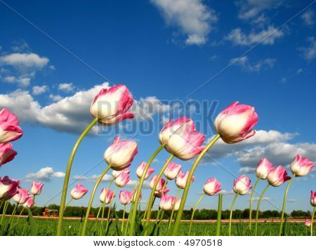 Tulips In Wind
