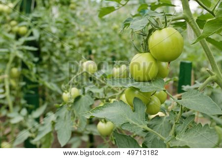 Green Tomatoes On A Stem