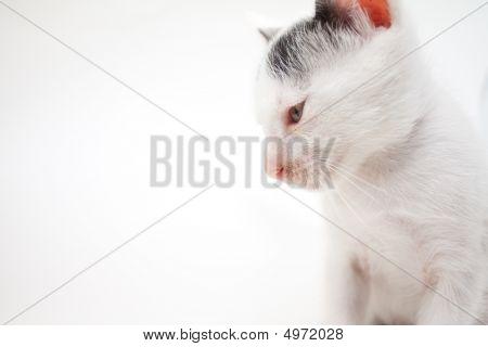 Closeup White Kitten Isolated