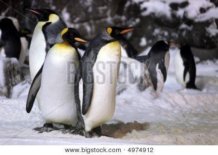 Emperor Penguins Hanging Out Together