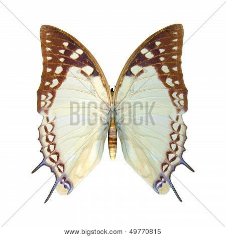 Nawab Butterfly