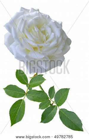 White Rose With Leaves On White