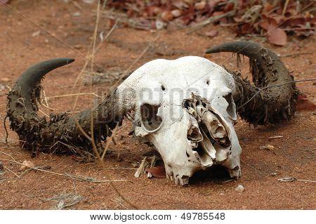 Skull of a buffalo
