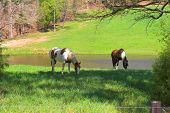 horses grazing on a hill side in tennessee poster
