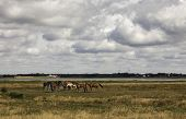 Horses on a green meadow at the wadden sea Denmark poster