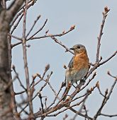Eastern bluebird perched on a tree branch poster
