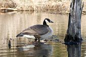 goose on a pond where I was fishing poster