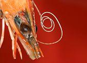 Prawn. Marine life. Seafood. Healthy eating diet. poster