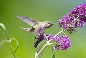 Annas Hummingbird feeding on Butterfly Bush Flowers, with green background poster