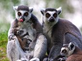Family portrait of a Ring-tailed lemur family with just born baby poster