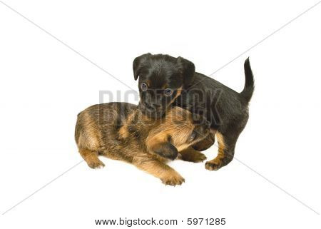 Crossbreed Puppies playing, photographed on a white background. poster