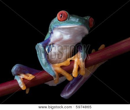 Red-eyed Tree Frog On Red Branch