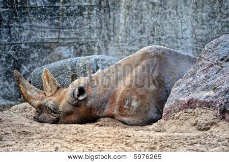 A big brown rhinoceros lies between the gray boulders poster