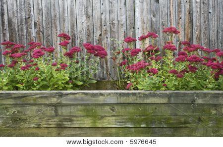 Red Sedum In Autumn