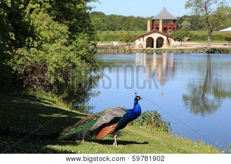 peacock, garden and lake at Egeskov castle, Denmark poster