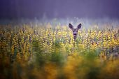 Roe-deer in the morning mist, in a flowers poster