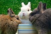 three netherland dwarf eating on the grass background poster