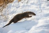 Young European otter (Lutra lutra lutra) in winter poster