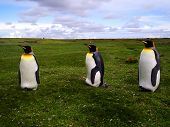 Beautiful king penguins in a vast grassland. poster