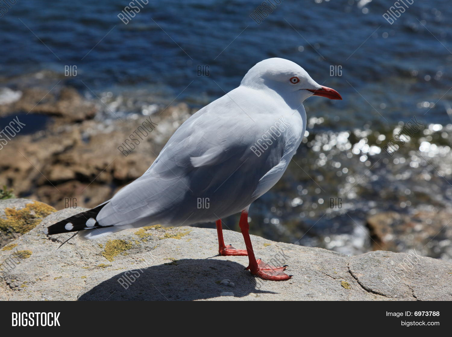 Close Up Seagull / Bird