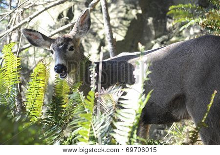 A deer grazes among ferns among the wild landscape of the Olympic Peninsula in Washington state. poster