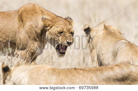 Angry wild lion in Africa