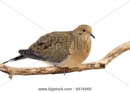 mourning dove cautiously overlooks its surroundings while perched on a branch; white background poster