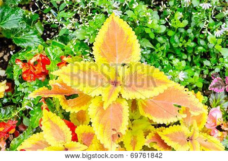 Yellow Orange Coleus, Painted Nettle.