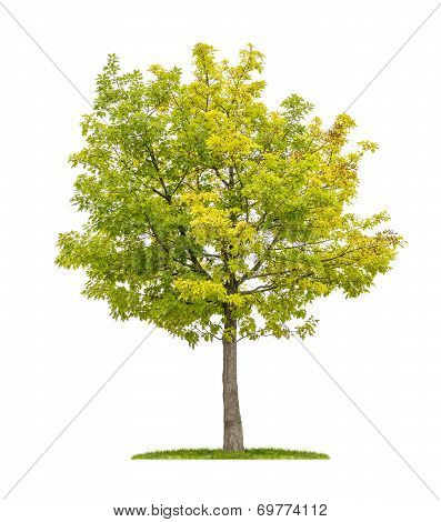 isolated red oak tree on a white background