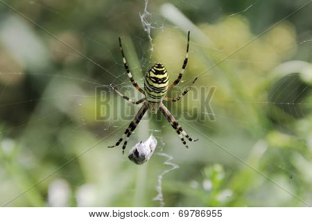 Garden spider (Argiope aurantia) in the net with wrapped prey poster