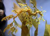 "A camouflaged ""leafy seadragon"" seahorse moves through ocean kelp. poster"