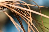 Nature's Abstract - A Close Look at Dried Pine Needles poster