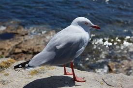 Close Up Seagull / Bird