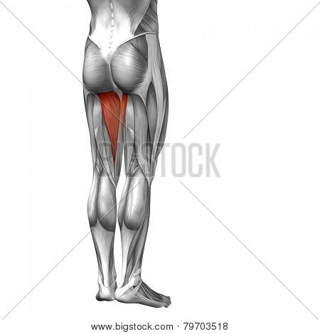 Concept or conceptual 3D human legs or adductor magnus anatomy or anatomical and muscle isolated on white background.