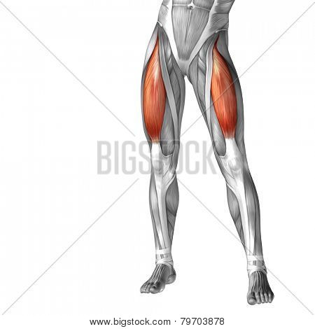 Concept or conceptual 3D human legs or rectus femoris anatomy or anatomical and muscle isolated on white background.