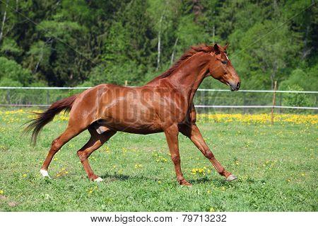 Beautiful sorrel horse on stud farm