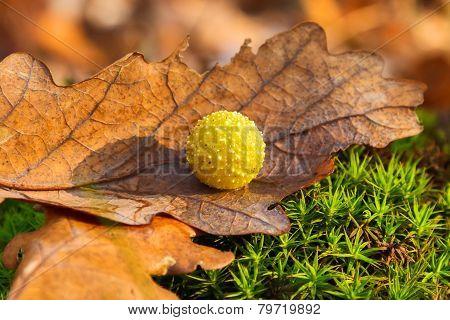Yellow Gall On Dry Oak Leaf