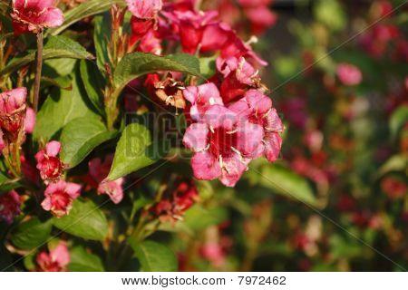 fuchsia with beautiful blossom