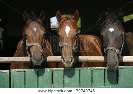 Beautiful Thoroughbred Horses At The Barn Door