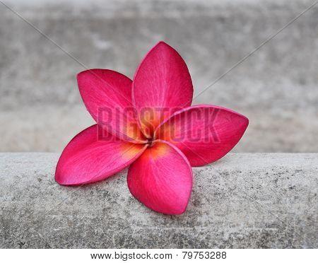 plumeria flowers great