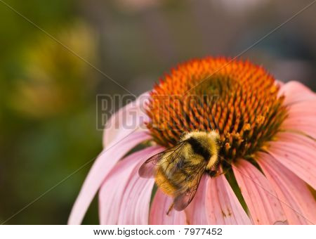 Bumblebee on a Cone Flower Close Up poster