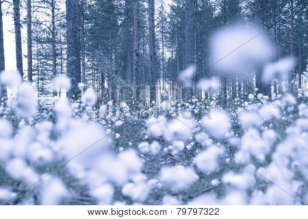 Cottongrass In Forest