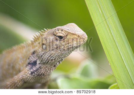 Oriental Garden Lizard - Calotes Versicolor - Macro