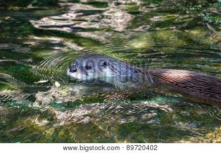 Eurasian River Otter