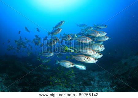 Fish school in ocean: Crescent-tailed Bigeyes
